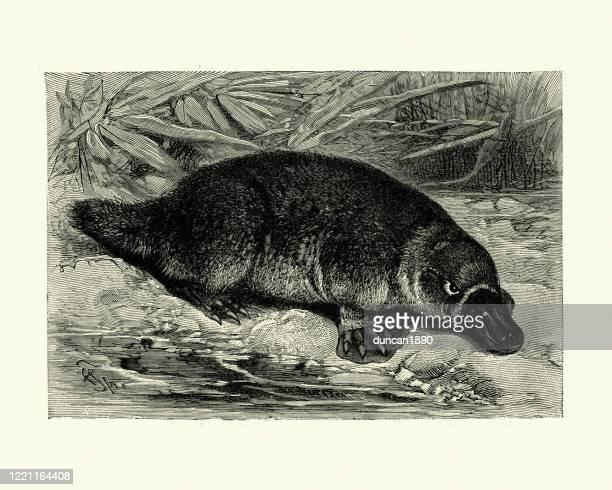duck-billed platypus (ornithorhynchus anatinus) - duck billed platypus stock illustrations