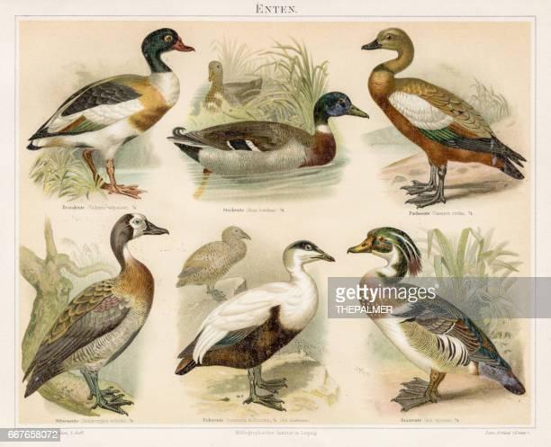 ducks chromolithograph 1895 - duck bird stock illustrations, clip art, cartoons, & icons