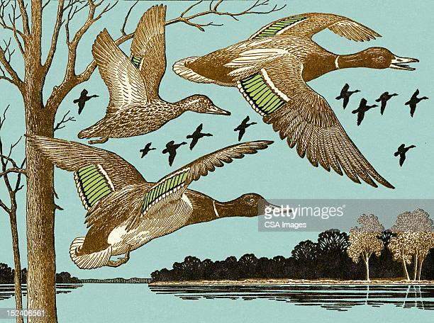 ducks flying - duck bird stock illustrations