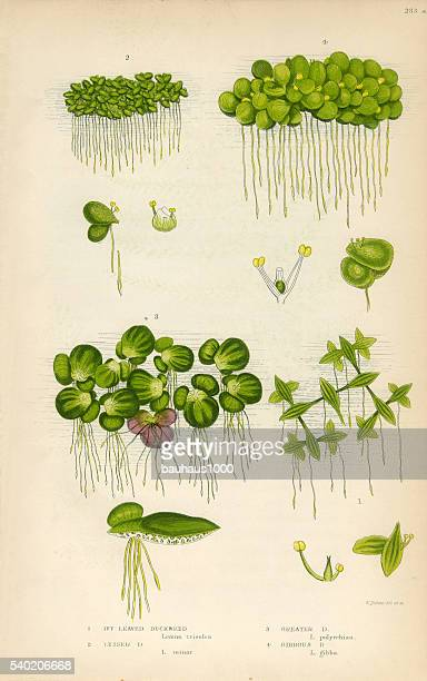 duckweed, lemnoideae, bayroot, victorian botanical illustration - 1840 1849 stock illustrations