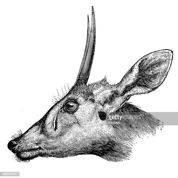 Duiker (Cephalophus madoqua)