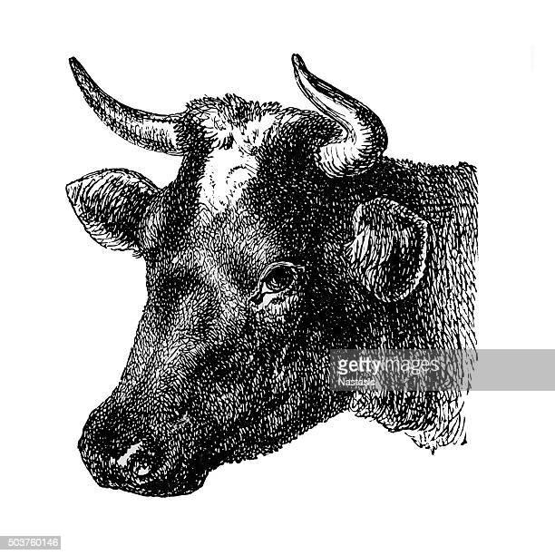 60 Top Cow Drawing Stock Illustrations, Clip art, Cartoons