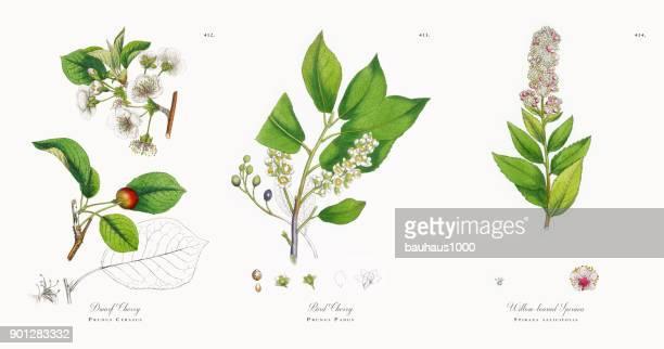 ilustraciones, imágenes clip art, dibujos animados e iconos de stock de enano cereza, prunus cerasus, victoriano ilustración botánica, 1863 - cherry tree