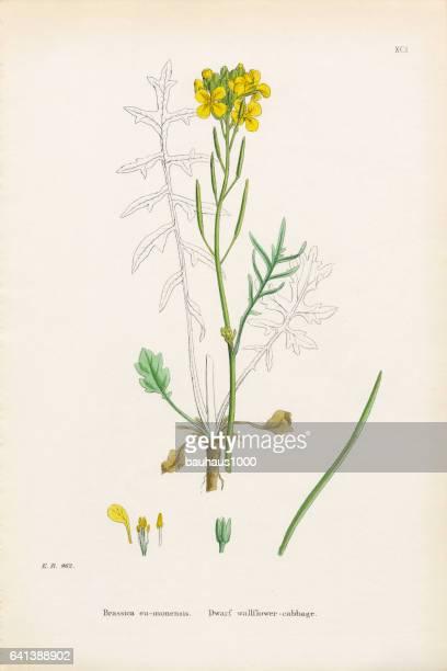 ilustrações, clipart, desenhos animados e ícones de anão wallflower repolho, brassica eumonensis, ilustração botânica vitoriana, 1863 - bok choy