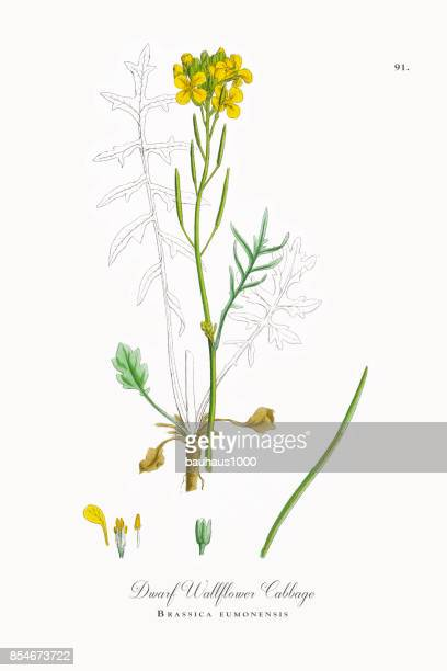 dwarf wallflower cabbage, brassica eumonensis, victorian botanical illustration, 1863 - bok choy stock illustrations, clip art, cartoons, & icons