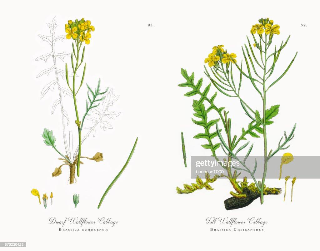 Dwarf Wallflower Cabbage, Brassica eumonensis, Victorian Botanical Illustration, 1863 : stock illustration
