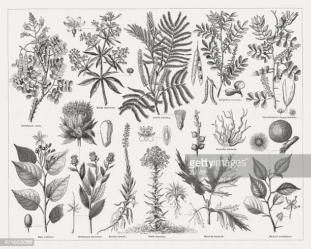 染色植物、1875 年に発表された - ユーカリの木点のイラスト素材/クリップアート素材/マンガ素材/アイコン素材