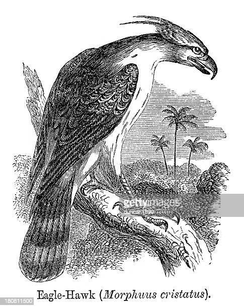 eagle hawk - falconry stock illustrations