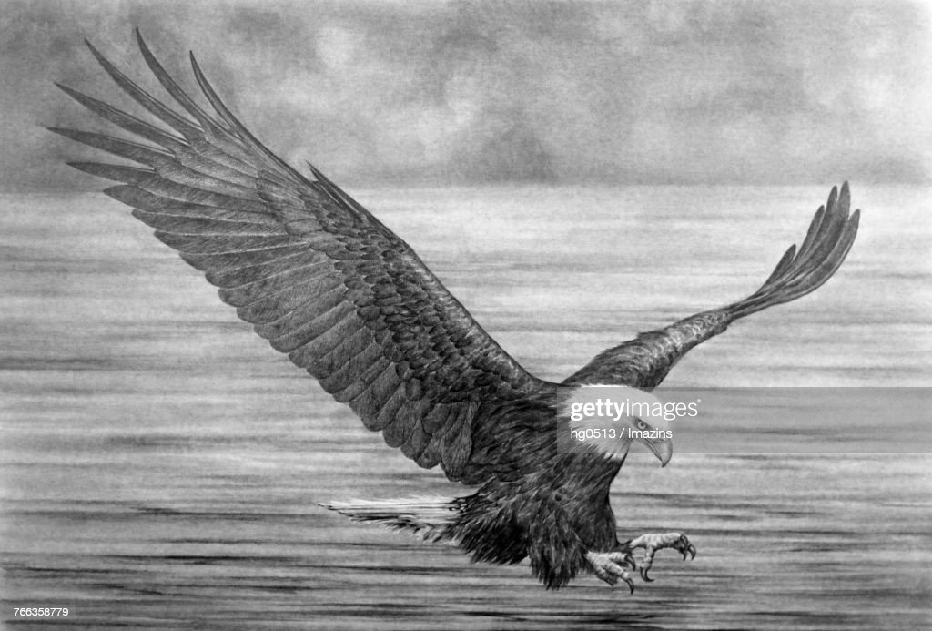 Eagle pencil drawing : stock illustration