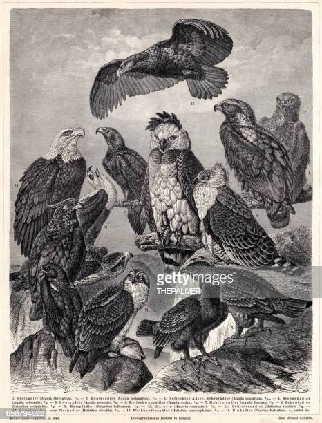 stockillustraties, clipart, cartoons en iconen met eagles gravure 1895 - harpij arend