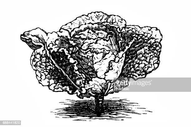 early savoy cabbage - white cabbage stock illustrations, clip art, cartoons, & icons