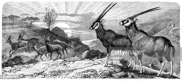 illustrations, cliparts, dessins animés et icônes de east african oryx (oryx beisa) et la gazelle dorcas (gazella dorcas) - afrique paysage