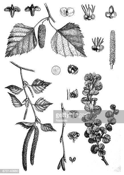 East Asian white birch, silver birch or warty birch (Betula pendula)