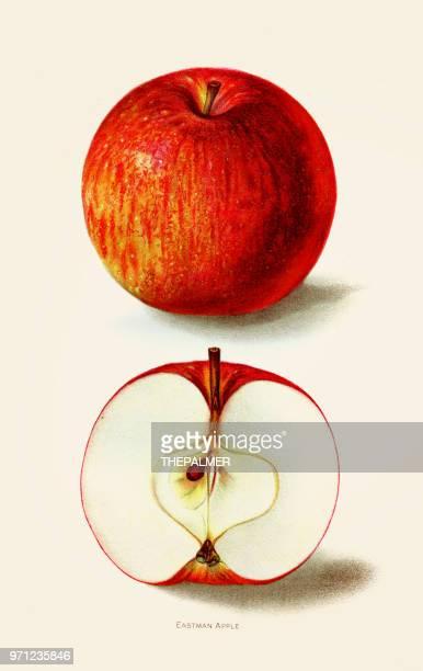 ilustraciones, imágenes clip art, dibujos animados e iconos de stock de ilustración de la manzana de eastman 1892 - manzana