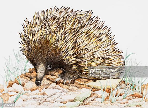 echidna on leaves - echidna stock illustrations