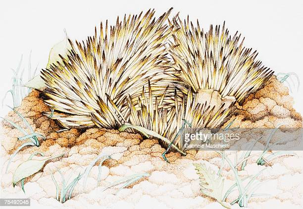 echidna spines - echidna stock illustrations