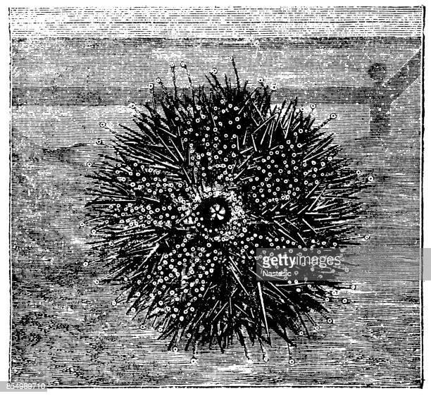 Echinus esculentus (sea urchin)