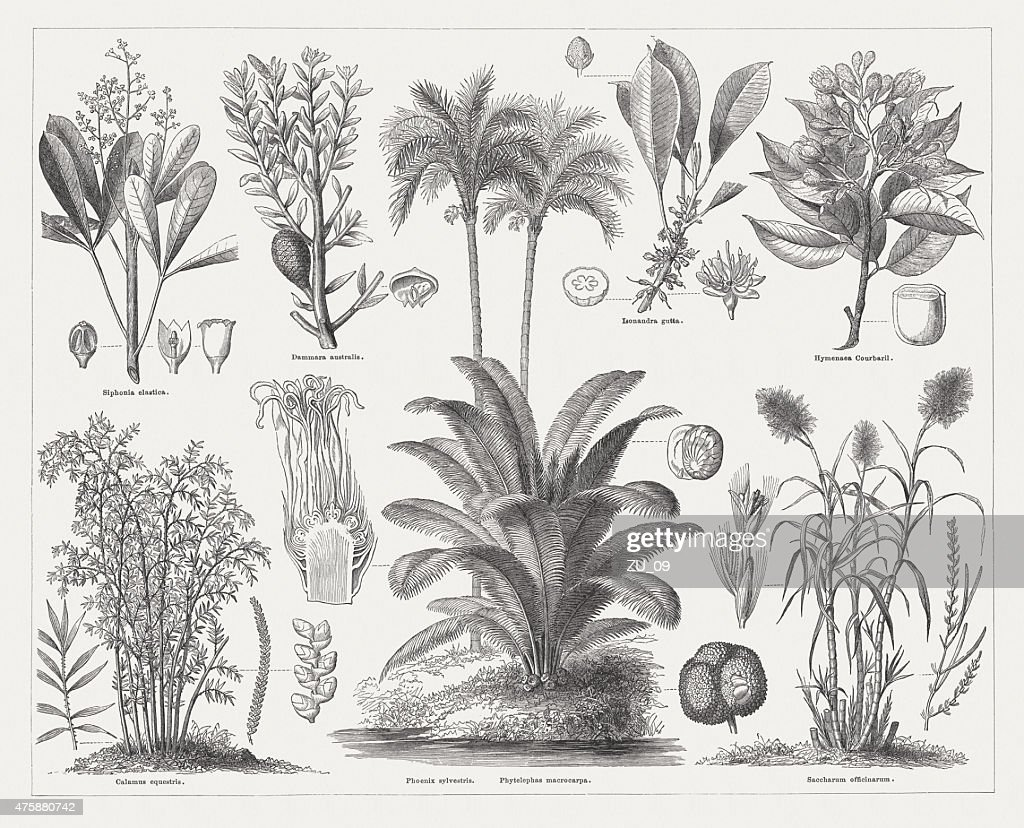 Economic plants, wood engravings, published in 1876 : stock illustration
