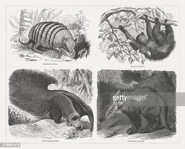 edentates mammals (xenartha), wood engravings, published in 1878 - aardvark stock illustrations