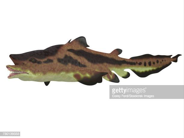 Edestus shark, white background.