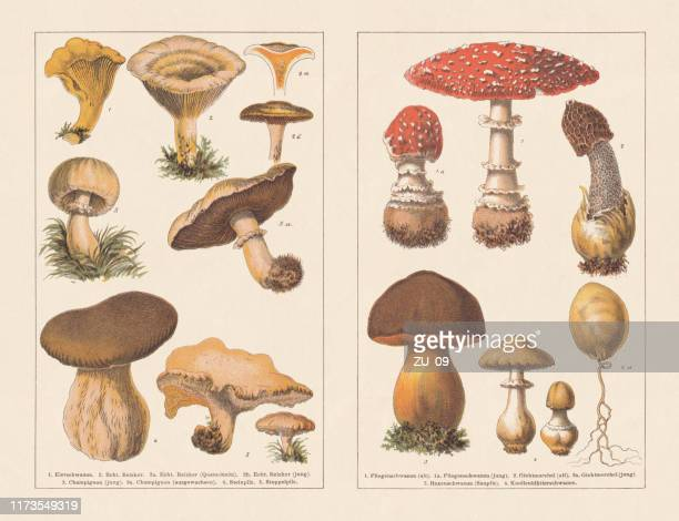 edible and poisonous mushrooms, chromotypogravures, published in 1894 - magic mushroom stock illustrations