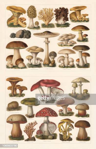 edible and toxic mushrooms, chromolithograph, published in 1897 - lithograph stock illustrations