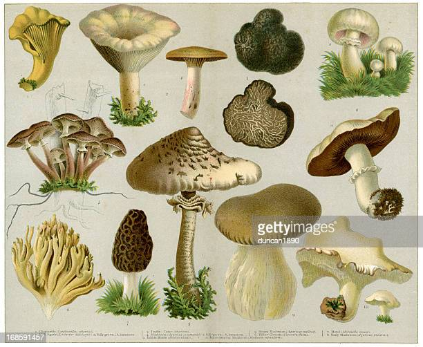 edible fungi - mushrooms stock illustrations