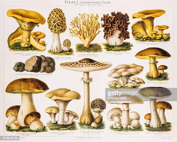 edible mushrooms antique chromolithograph 1896 - antique stock illustrations, clip art, cartoons, & icons