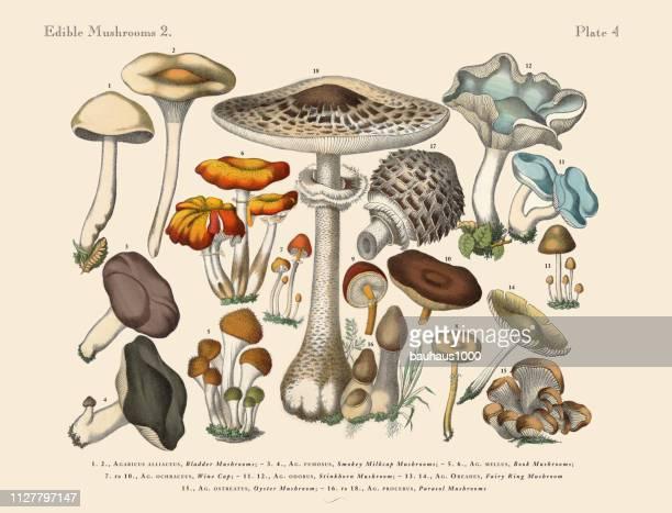 edible mushrooms, victorian botanical illustration - edible mushroom stock illustrations