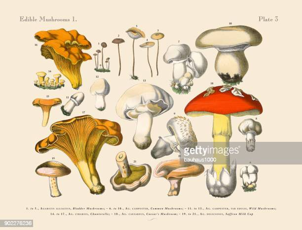 edible mushrooms, victorian botanical illustration - lithograph stock illustrations