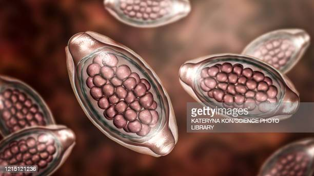 eggs of a parasitic worm trichuris trichiura, illustration - roundworm stock illustrations