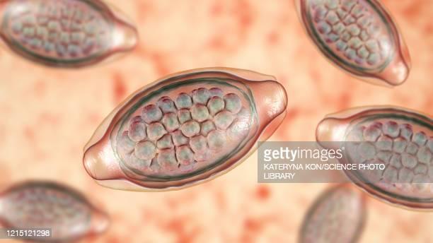 eggs of a parasitic worm trichuris trichiura, illustration - zoonotic diseases stock illustrations