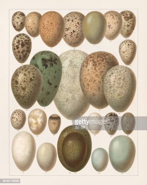 eggs of european birds, lithograph, published in 1897 - quail bird stock illustrations, clip art, cartoons, & icons