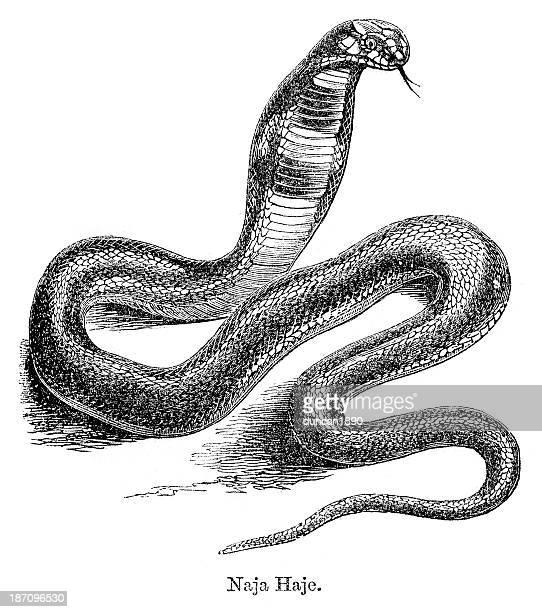 ilustraciones, imágenes clip art, dibujos animados e iconos de stock de cobra naja haje annulifera - cobra