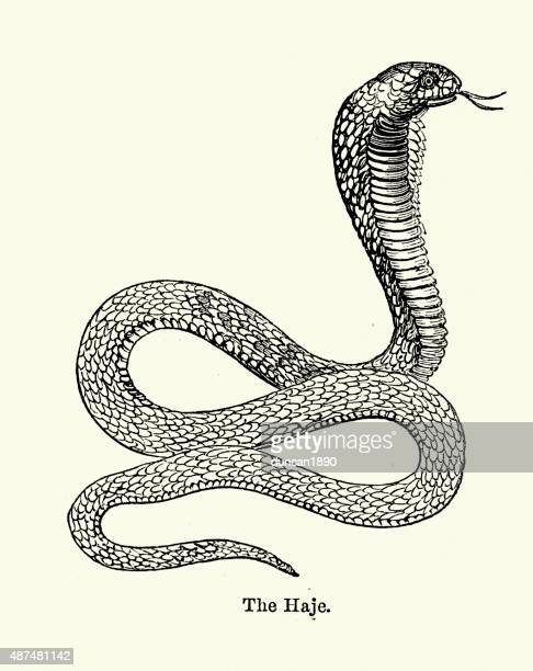 ilustraciones, imágenes clip art, dibujos animados e iconos de stock de cobra naja haje annulifera serpiente - cobra