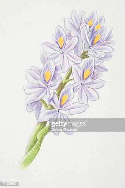 ilustrações, clipart, desenhos animados e ícones de eichhornia, water hyacinth flowerhead. - organismo aquático