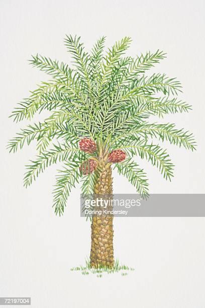 Elaeis guineensis, African Oil Palm tree.