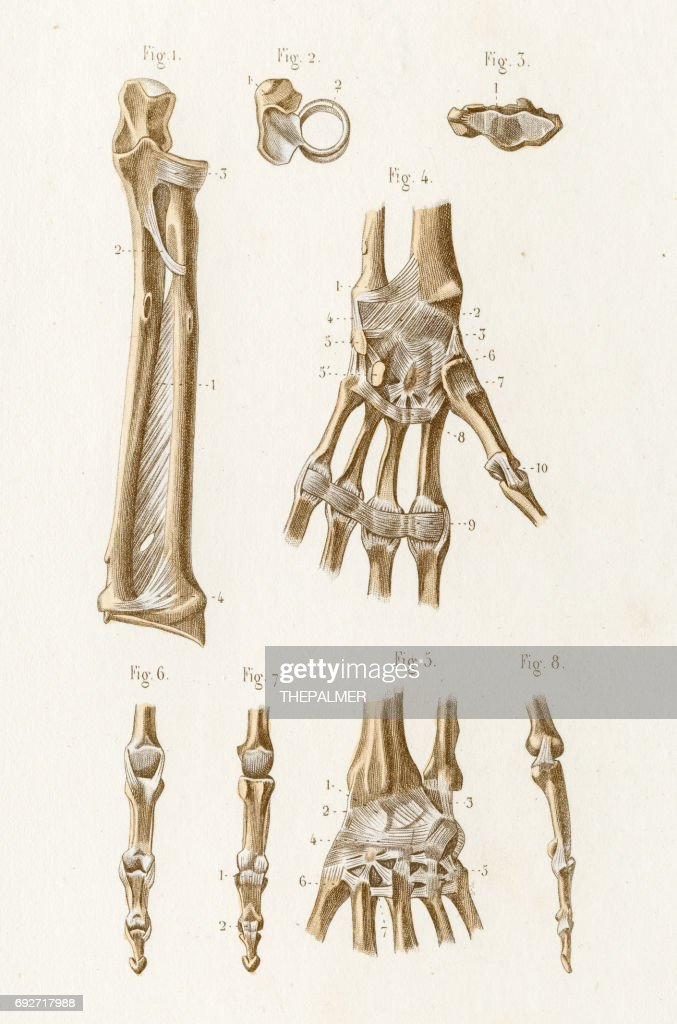 Elbow Joint Anatomy Engraving 1886 Stock Illustration Getty Images