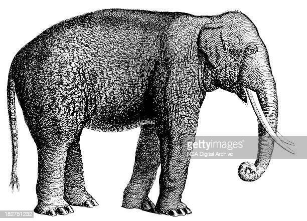 ilustraciones, imágenes clip art, dibujos animados e iconos de stock de elefante/antigüedades de ilustraciones de animales - parte del cuerpo animal