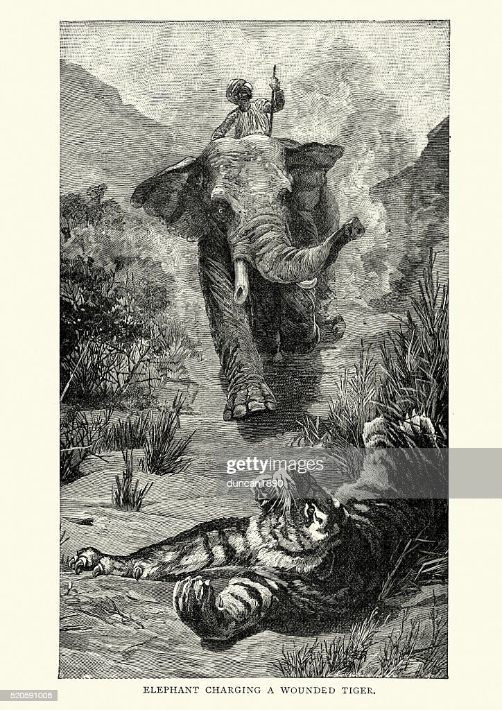 Elephant charging a wouned Tiger, India, 19th Century : stock illustration