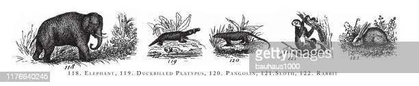 illustrations, cliparts, dessins animés et icônes de elephant, duckbilled platypus, pangolin, sloth, rabbit, classification of animal species engraving antique illustration, publié en 1851 - pangolin
