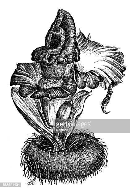 elephant foot yam or whitespot giant arum or stink lily (amorphophallus paeoniifolius) - driftwood stock illustrations