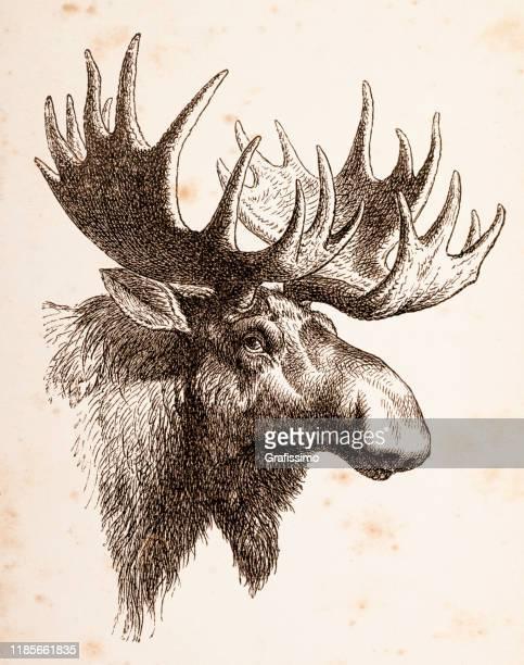 elk male animal head - moose stock illustrations