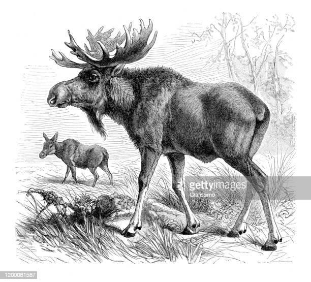 elk moose illustration - elk stock illustrations