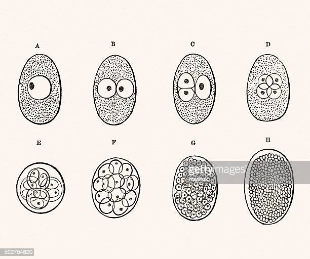 embryo development 19 century medical illustration - human embryo stock illustrations