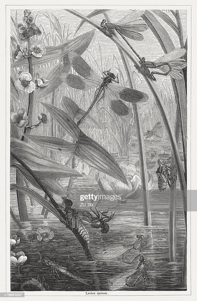 Emerald damselfly, wood engraving, published in 1878 : stock illustration