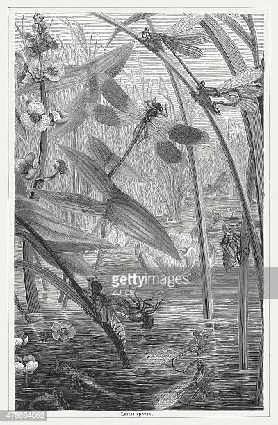 emerald damselfly, wood engraving, published in 1878 - odonata stock illustrations, clip art, cartoons, & icons