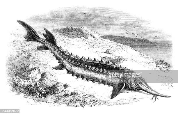 endangered species sturgeon in caspian sea 1858 - sturgeon fish stock illustrations