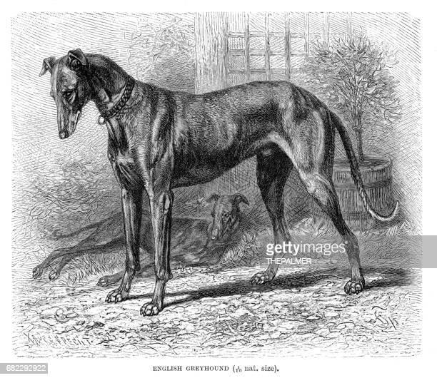ilustraciones, imágenes clip art, dibujos animados e iconos de stock de galgo inglés grabado 1894 - galgo