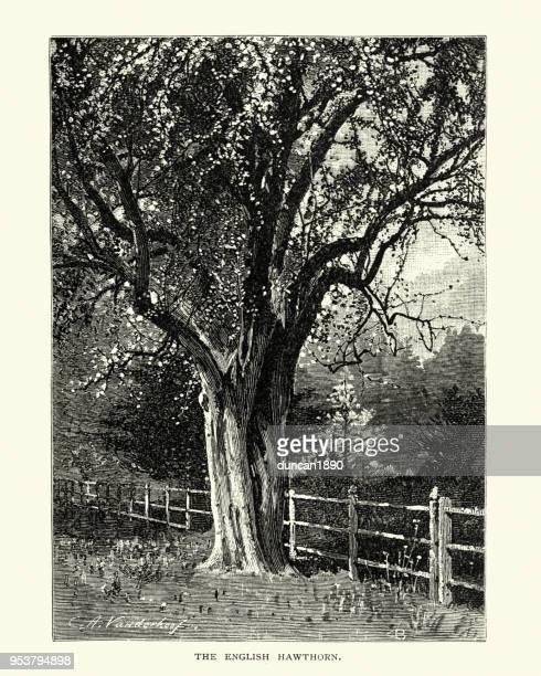ilustrações, clipart, desenhos animados e ícones de árvore de pilriteiro inglês, crataegus laevigata, século xix - pilritreiro